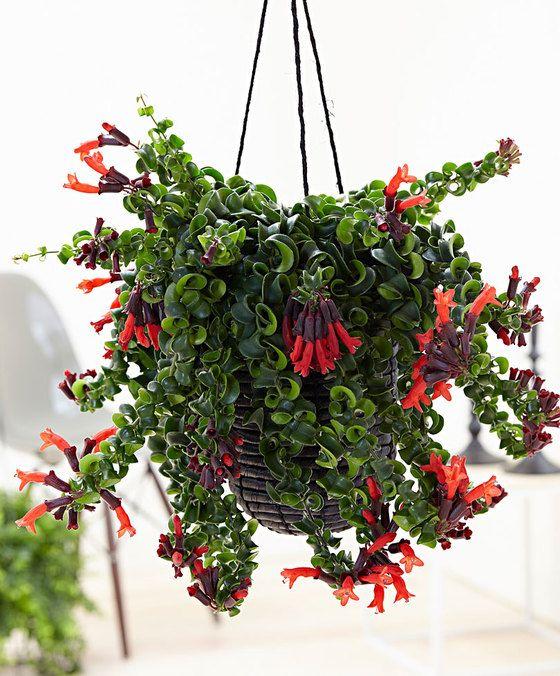 piante-pendenti-Aeschynanthus