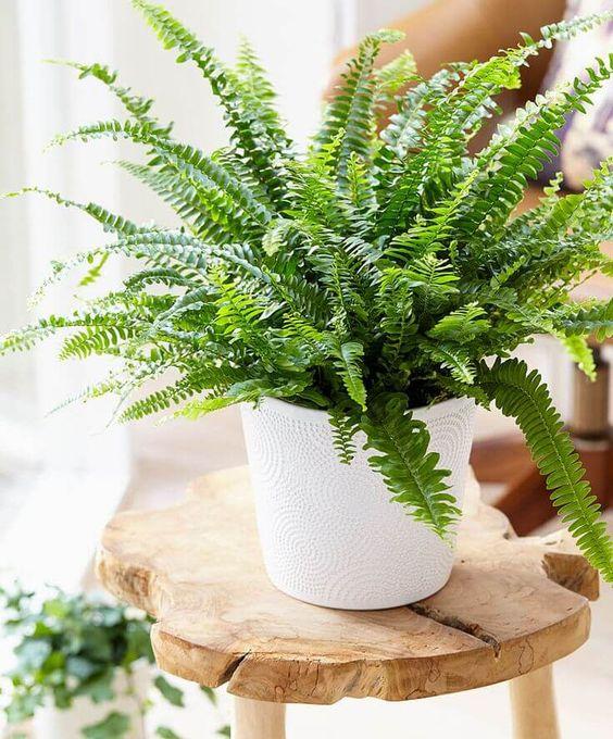 piante-pendenti-felce-boston-3