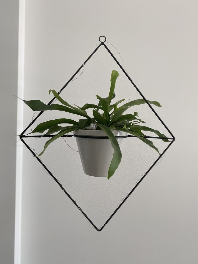 piante-pendenti-felce-cervo