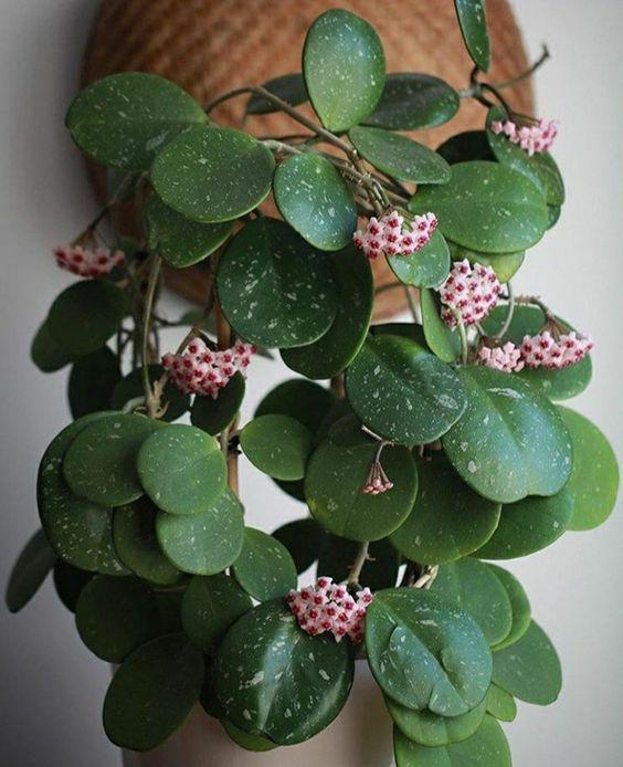 piante-pendenti-hoya