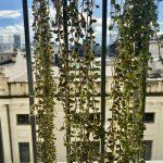 piante-pendenti-senecio