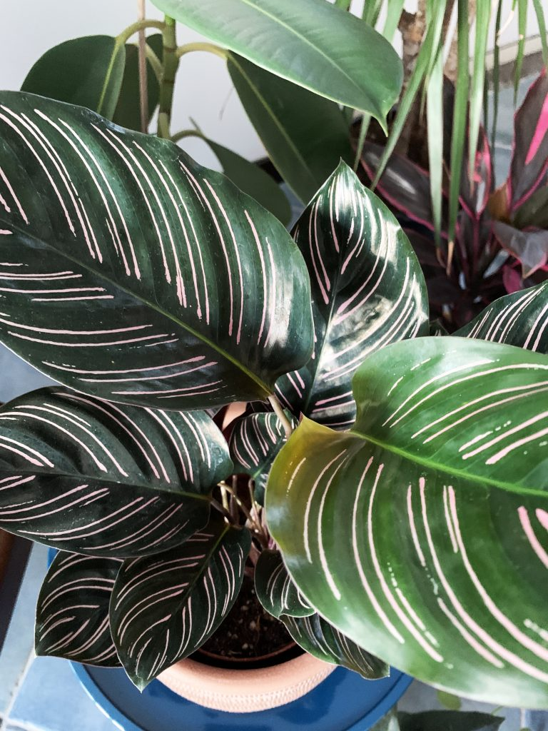 calathea ornata pianta da regalare